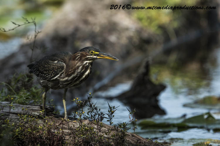 Green Heron Picture-684