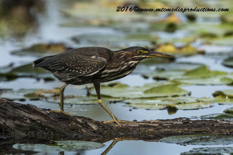 Green Heron Picture-685