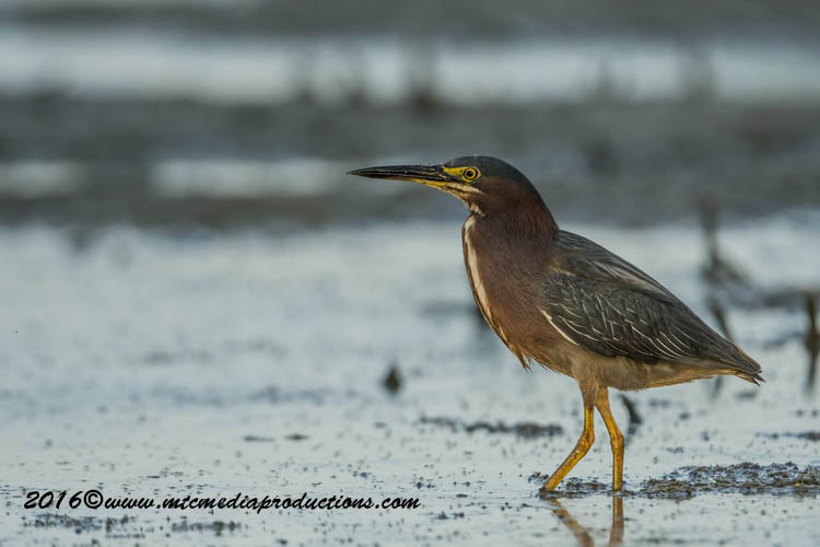 Green Heron Picture-687