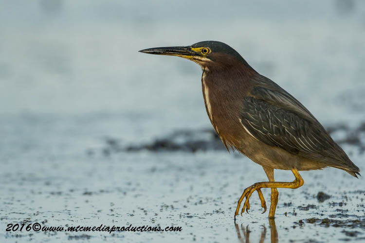 Green Heron Picture-688