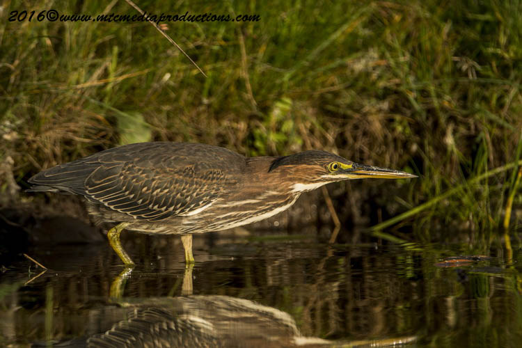 Green Heron Picture-690