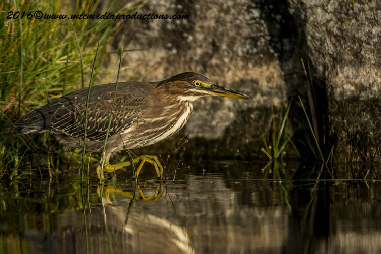 Green Heron Picture-691