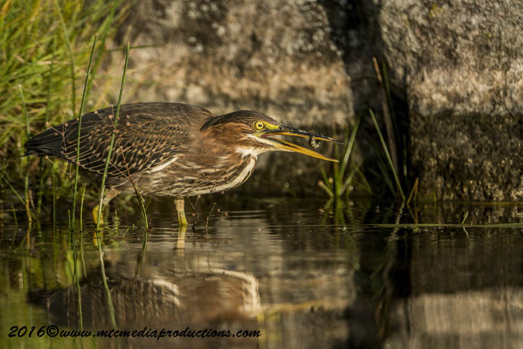 Green Heron Picture-692