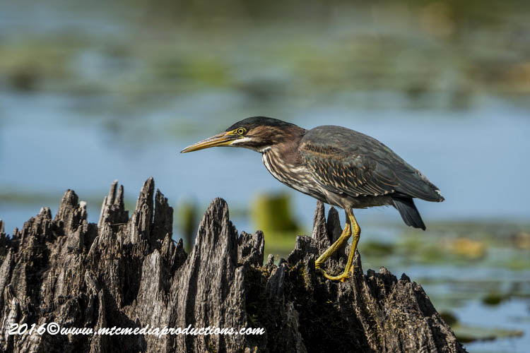 Green Heron Picture-694