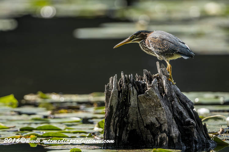 Green Heron Picture-696