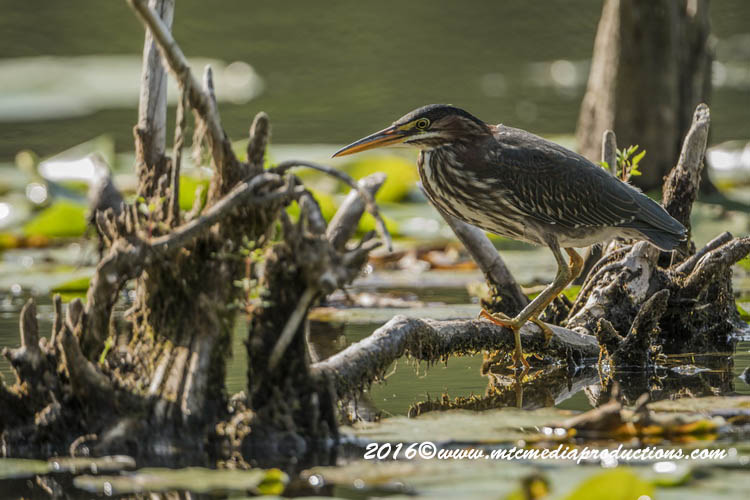 Green Heron Picture-697