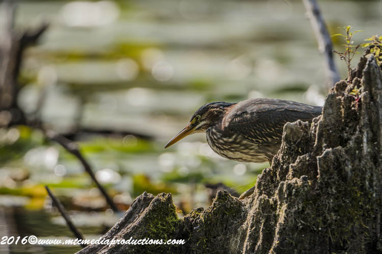 Green Heron Picture-699