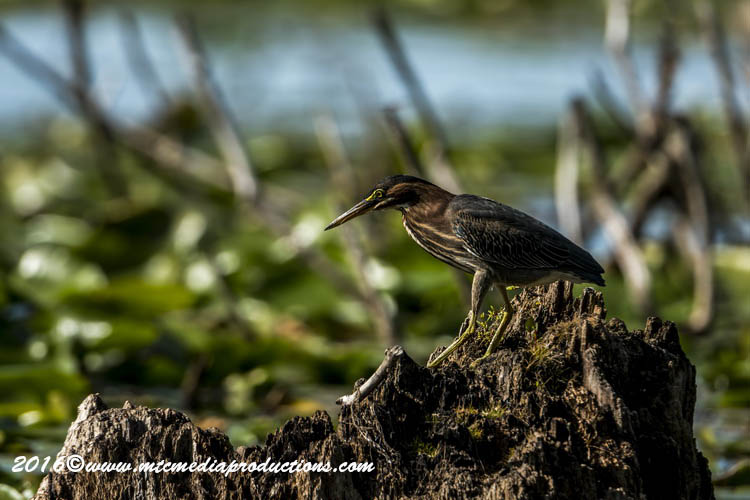 Green Heron Picture-700