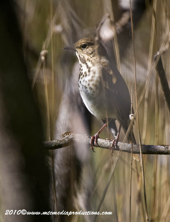 Hermit Thrush Picture