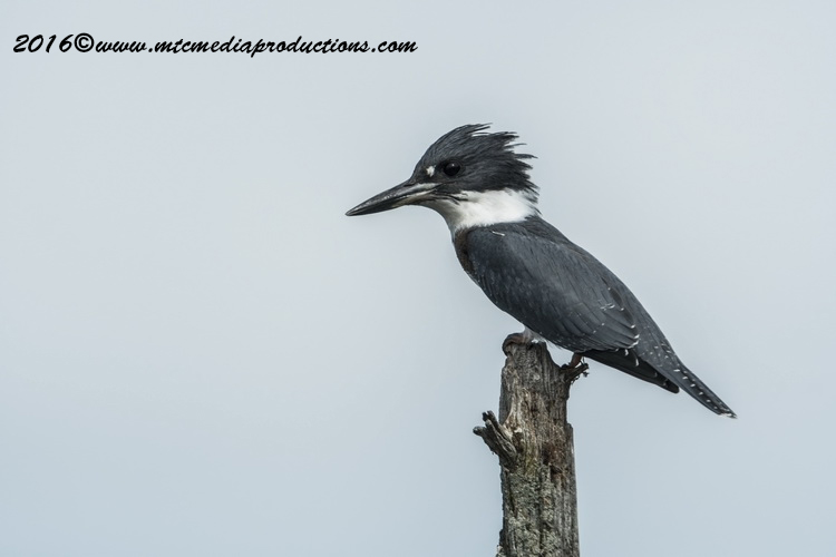 King Fisher Picture-12