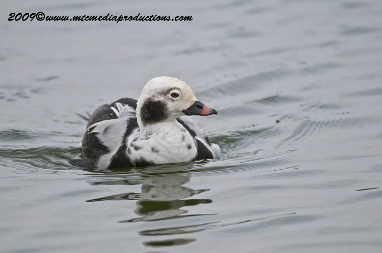 Long Tailed Duck Picture-00