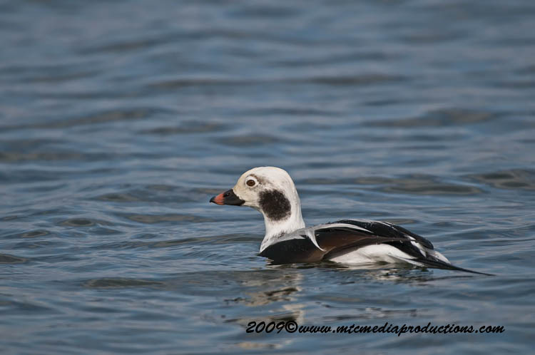 Long Tailed Duck Picture-14