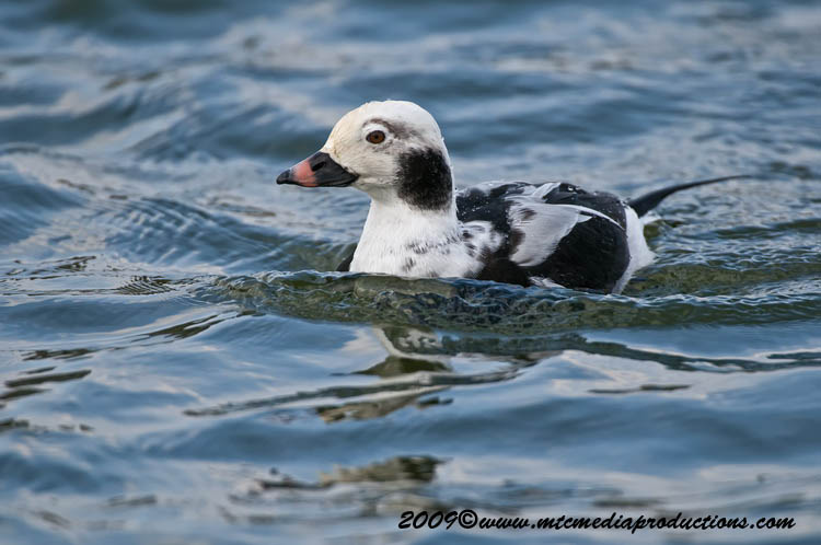 Long Tailed Duck Picture-16
