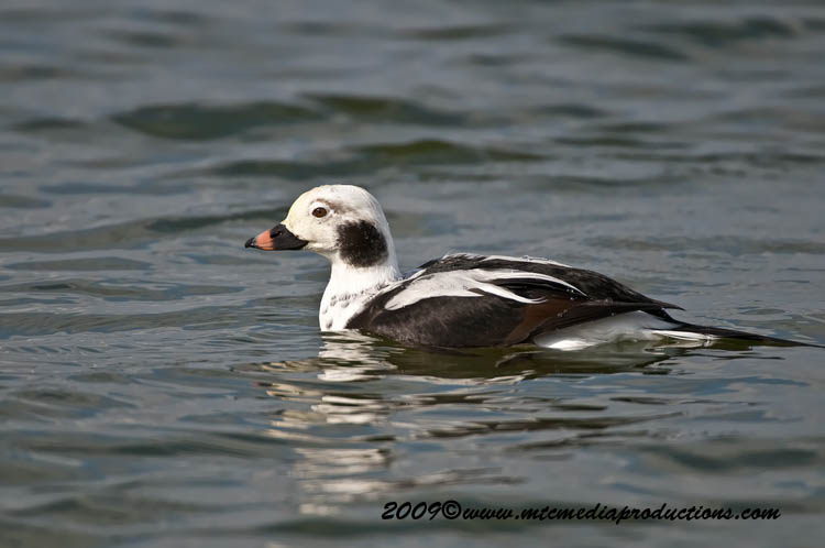 Long Tailed Duck Picture-17