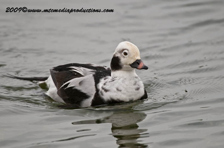 Long Tailed Duck Picture-02
