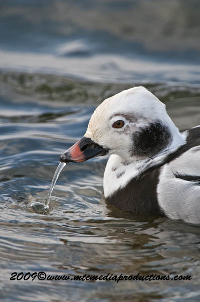 Long Tailed Duck Picture-23