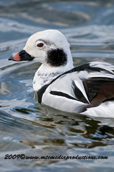 Long Tailed Duck Picture-24