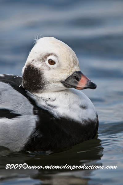 Long Tailed Duck Picture-26