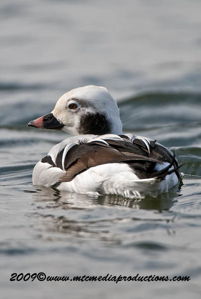 Long Tailed Duck Picture-28