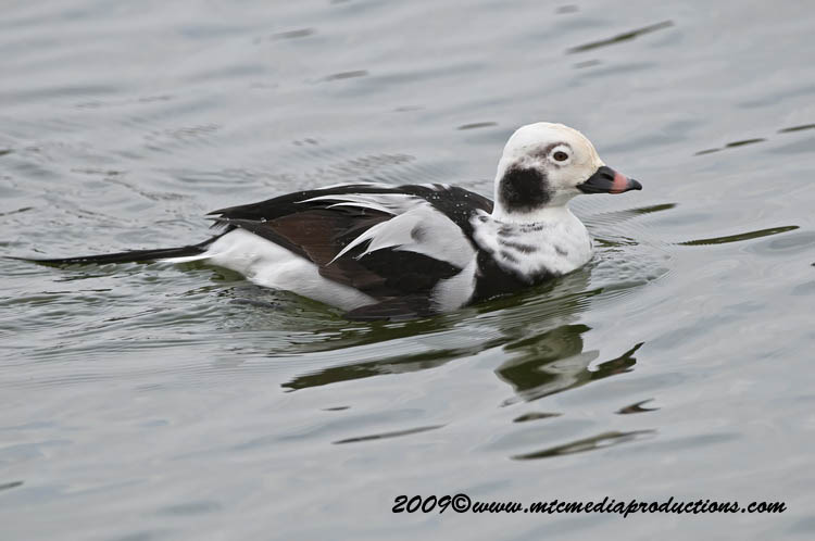 Long Tailed Duck Picture-03
