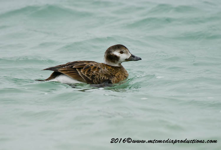 Long Tailed Duck Picture