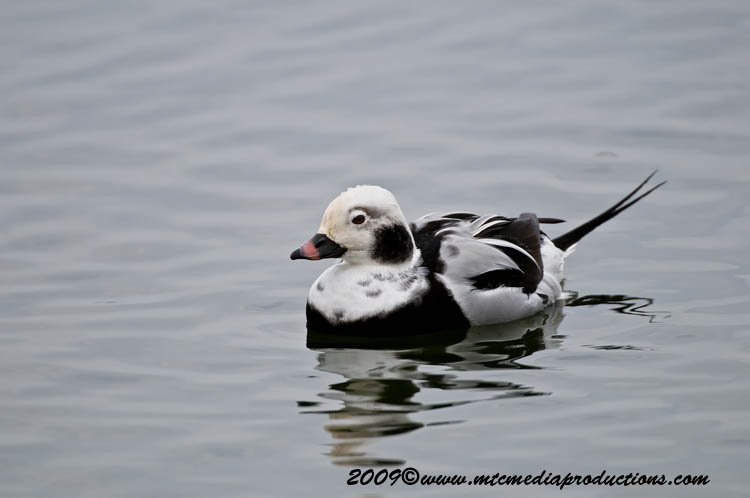 Long Tailed Duck Picture-04