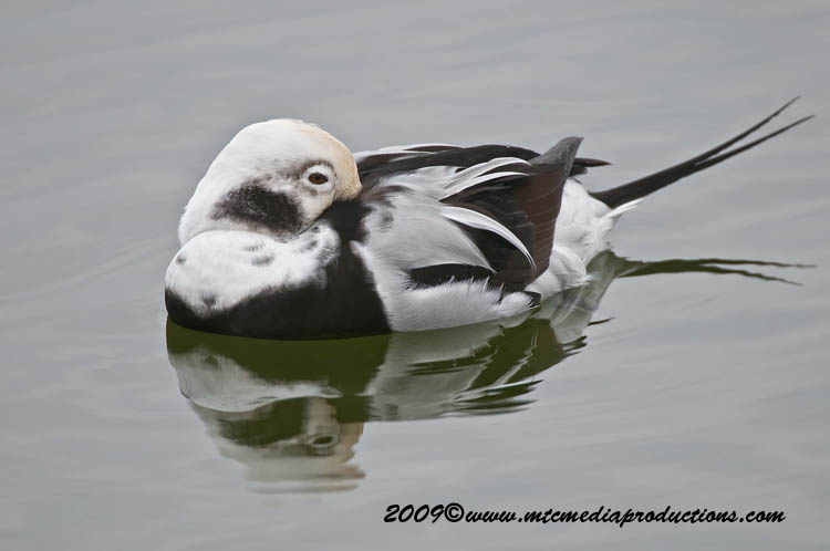 Long Tailed Duck Picture-06