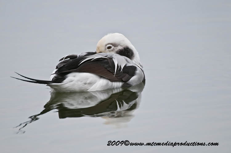 Long Tailed Duck Picture-07