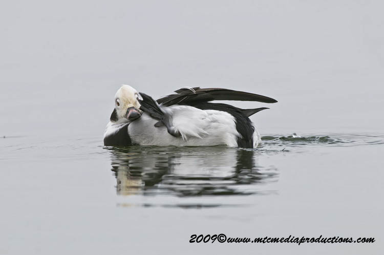 Long Tailed Duck Picture-08