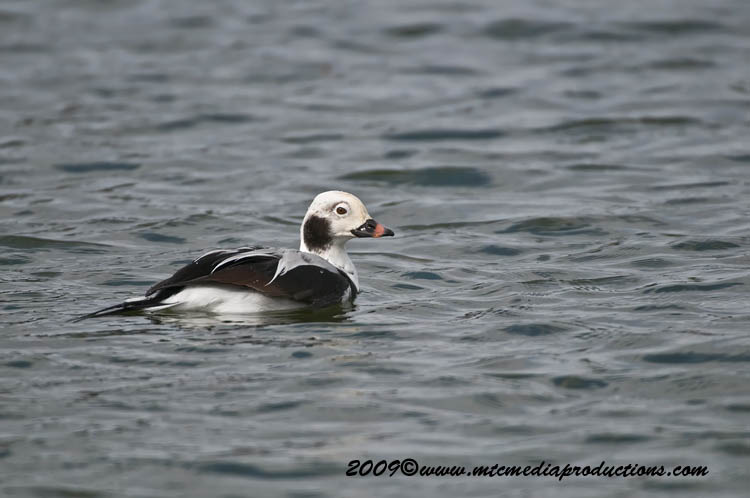 Long Tailed Duck Picture-09