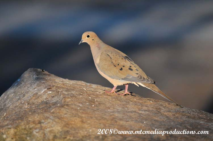 Mourning Dove Picture-00