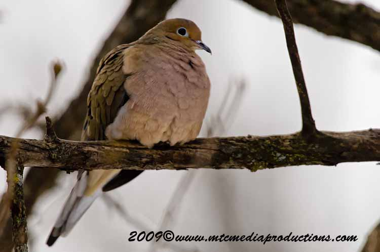 Mourning Dove Picture-01