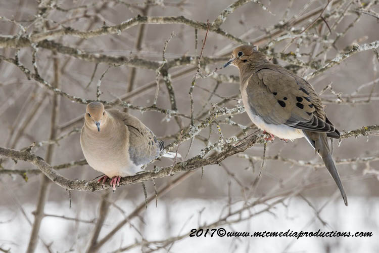 Mourning Dove Picture