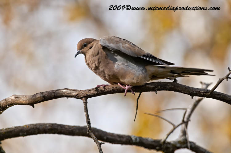Mourning Dove Picture-11
