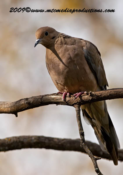 Mourning Dove Picture-12