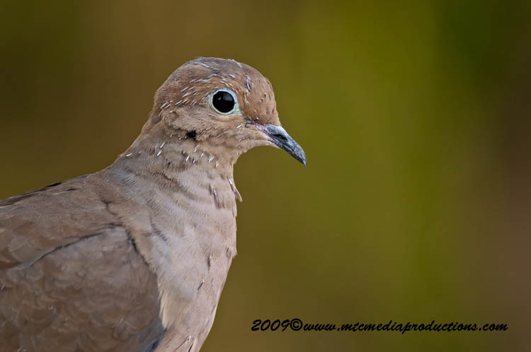 Mourning Dove Picture-13