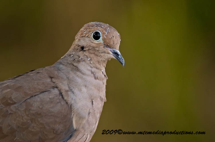 Mourning Dove Picture-14