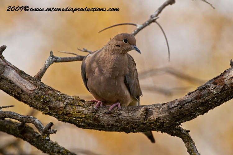 Mourning Dove Picture-15