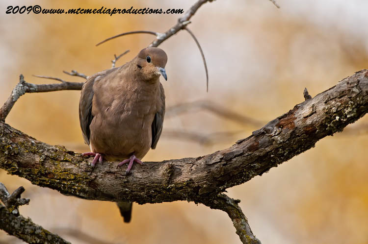 Mourning Dove Picture-16