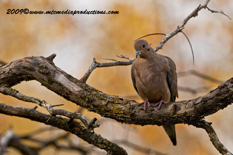 Mourning Dove Picture-17