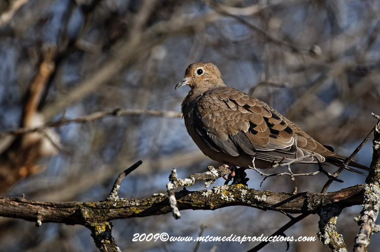Mourning Dove Picture-18