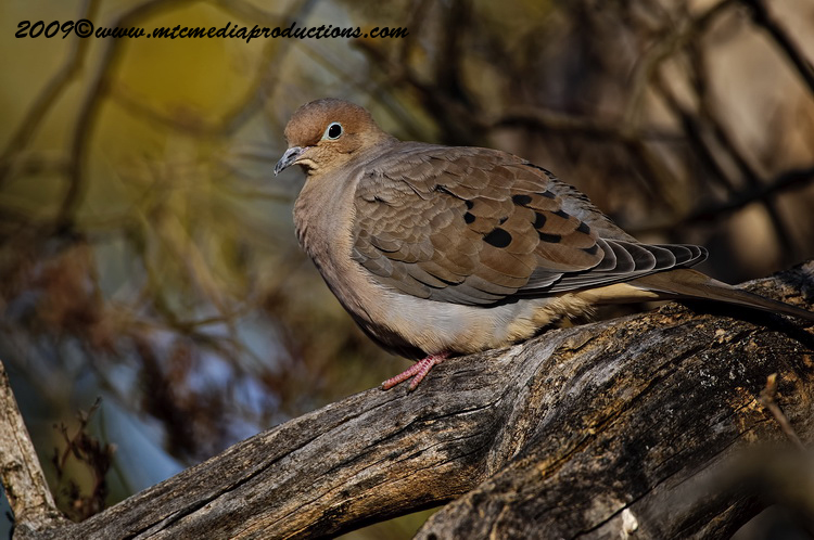 Mourning Dove Picture-19
