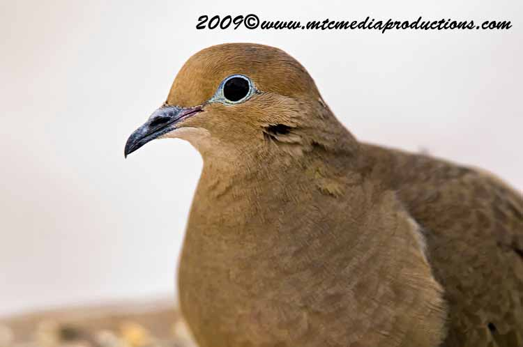 Mourning Dove Picture-02