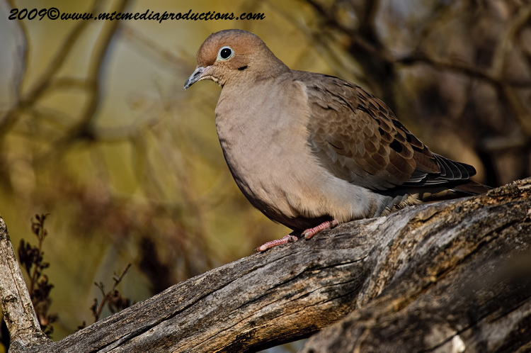 Mourning Dove Picture-20