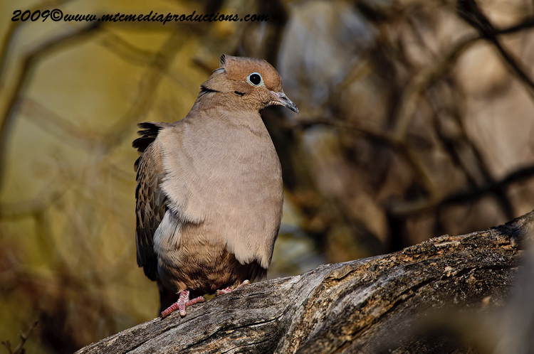 Mourning Dove Picture-21