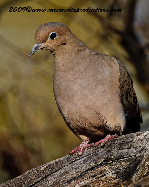 Mourning Dove Picture-22