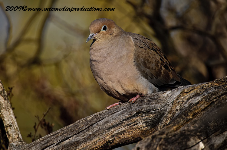 Mourning Dove Picture-23