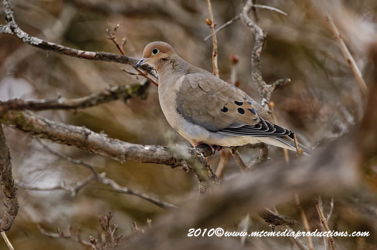 Mourning Dove Picture-24