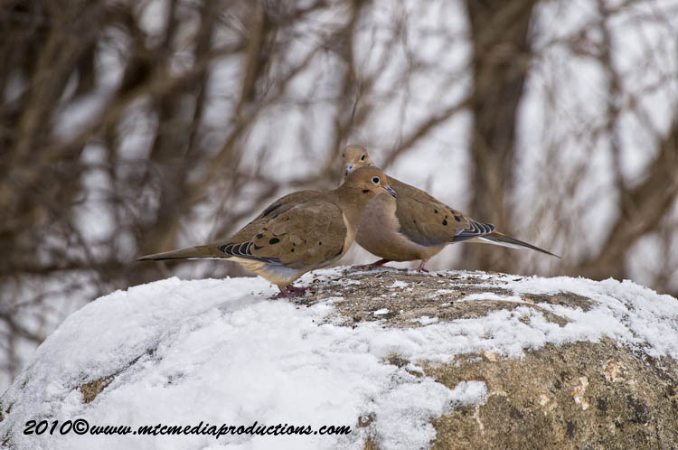 Mourning Dove Picture-25