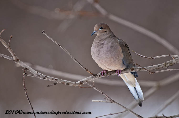 Mourning Dove Picture-26